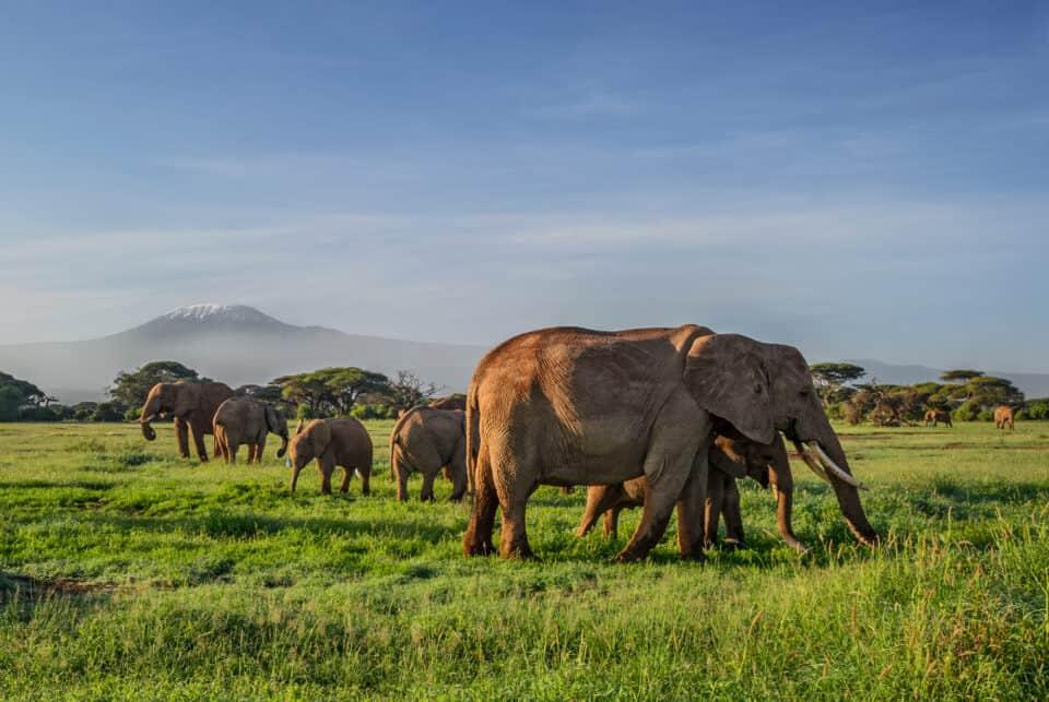 afrikanske elefanter på en safari tur i amboseli national park i kenya afrika