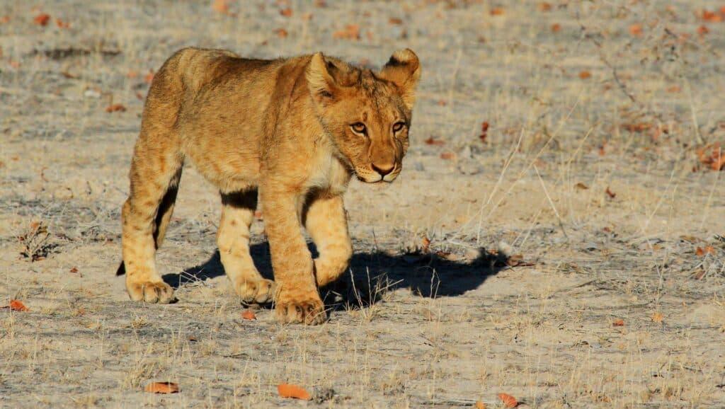 billede af en løveunge i namibia afrika