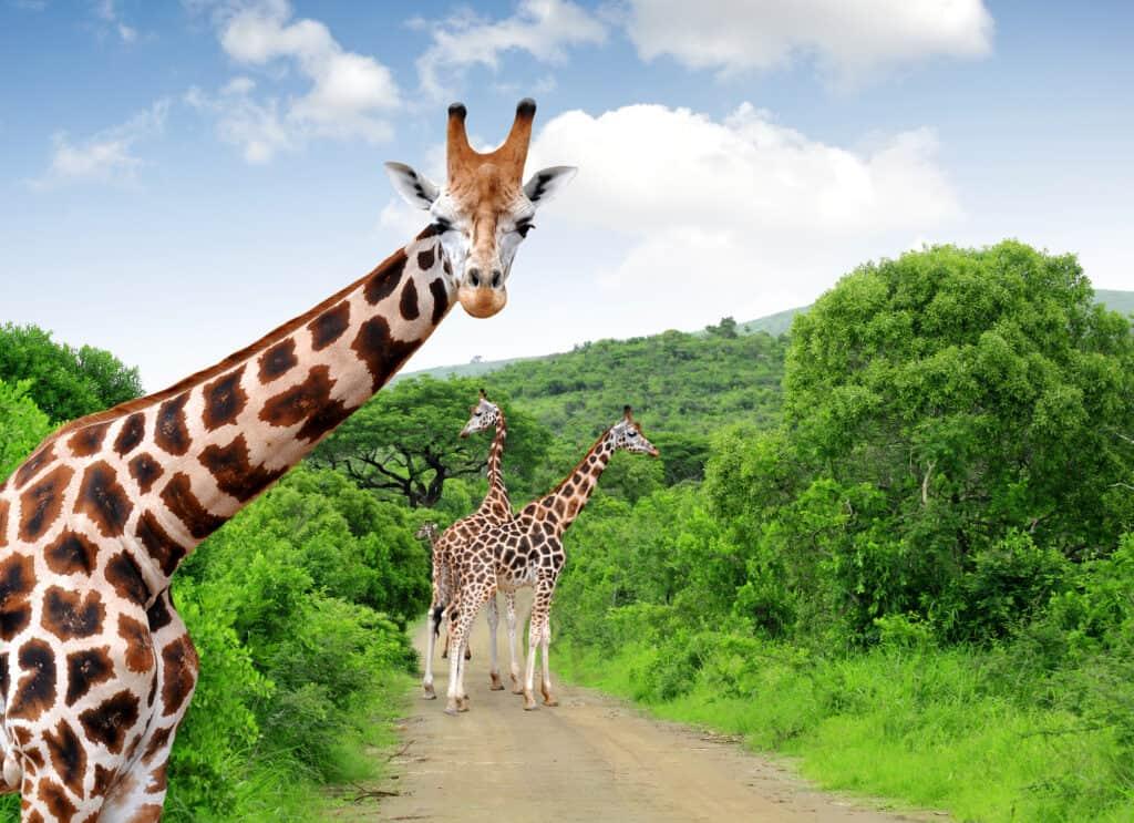 giraffer på vejen i sydafrika