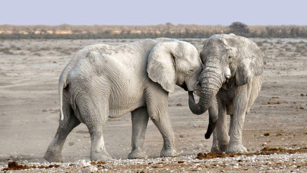 to store elefanter gnider sig op ad hinanden