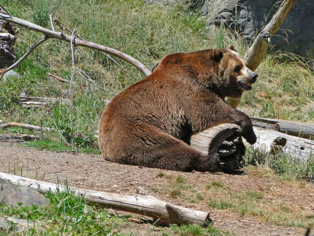 amerikansk grizzlybjørn og kaldet amerikansk brunbjørn i woodland park zoo i seattle