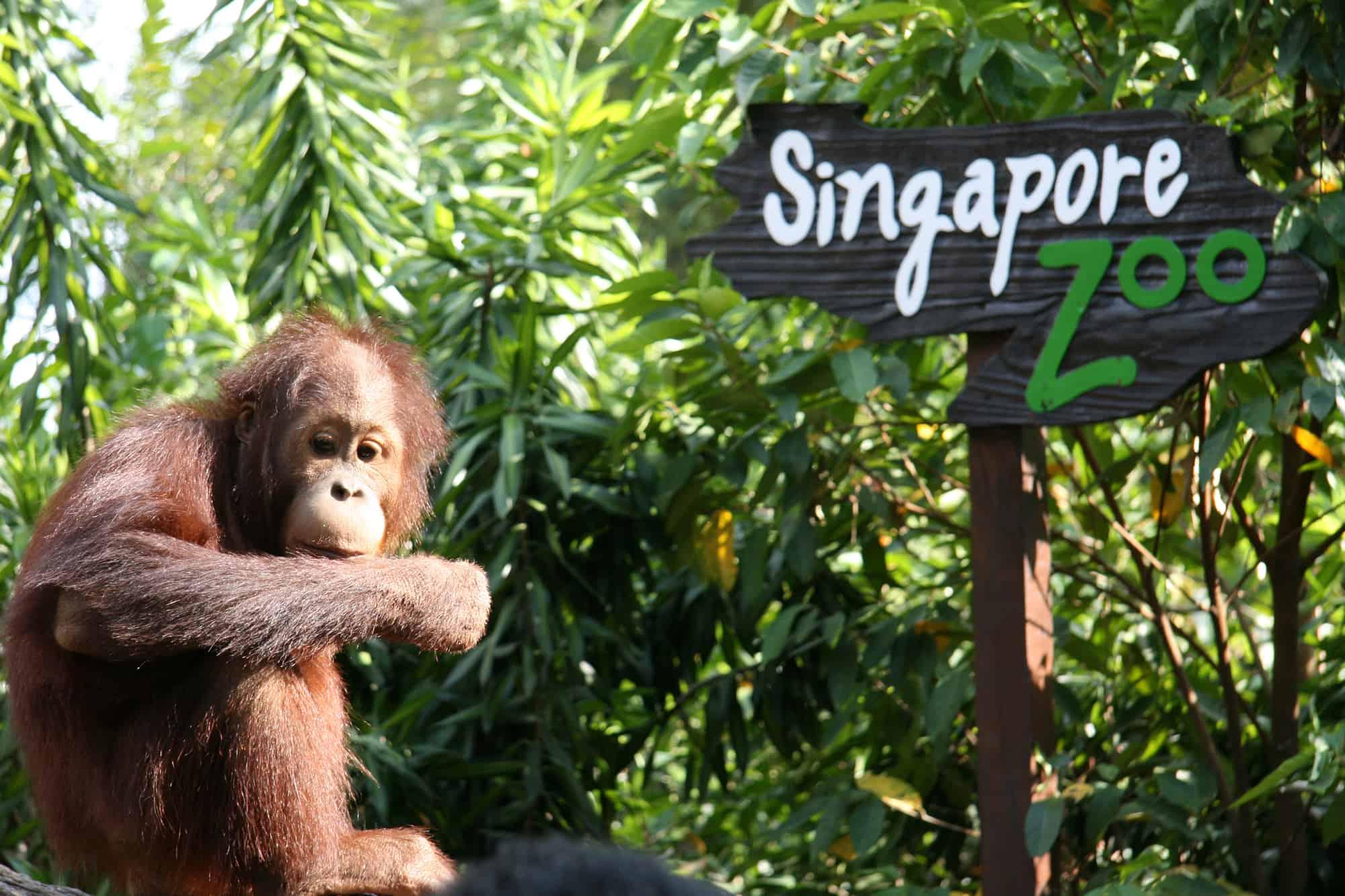 orangutang i singapore zoo singapores zoologiske have
